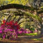 Азалии и дъбове в Южна Каролина