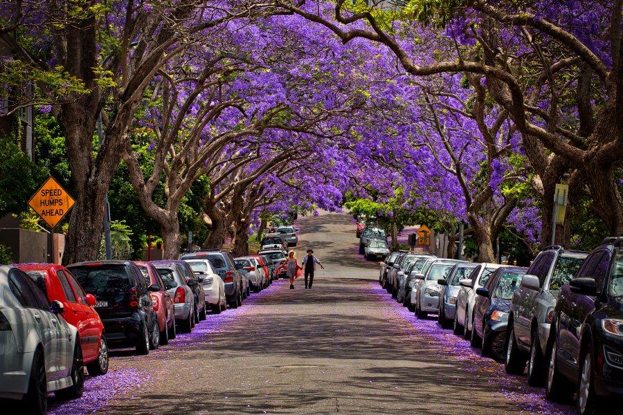 Улица под цветовете на дървото Джакаранда, Австралия