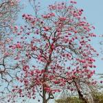 Розово лапачо в Колумбия