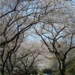 По пътя към пикника в Ryuozan Парк, Онода, в началото на април