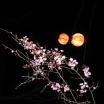 Осветена с хартиени фенери сакура през нощта в Парк Токива, Убе