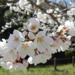 Различни сортове, които цъфтят в парк Токива, префектура Ямагучи