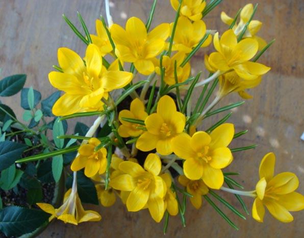 cvetnica